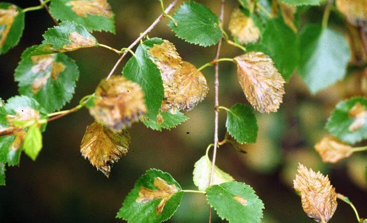 Birch Leafminer Damage