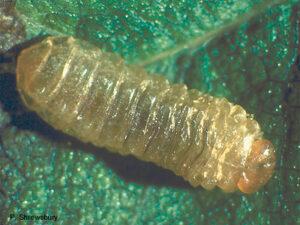 Leafminer Larva
