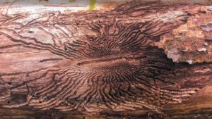 Emerald Ash Borer damage Aston PA S shaped patterns in bark