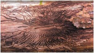 Emerald Ash Borer in West Chester