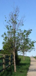 Emerald Ash Borer Damage Chester County PA - thinning tree crowns
