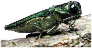 Emerald ash borer up-close | Stein Tree Service | EAB survive the winter