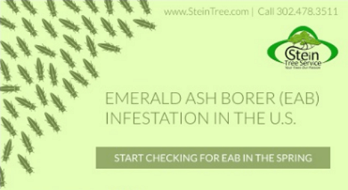 Emerald Ash Borer Infestation Stein Tree Service March 2017