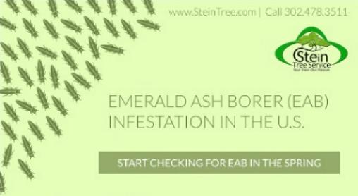 Emerald Ash Borer Infestation Stein Tree Service March 2017