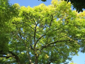 ash tree - spring and emerald ash borer inspection