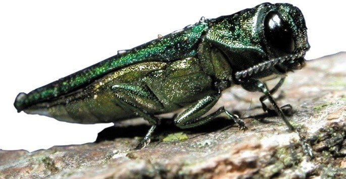 Emerald Ash Borer on a branch | Invasive Species Awareness | Stein Tree Service