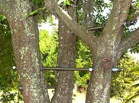 tree bracing