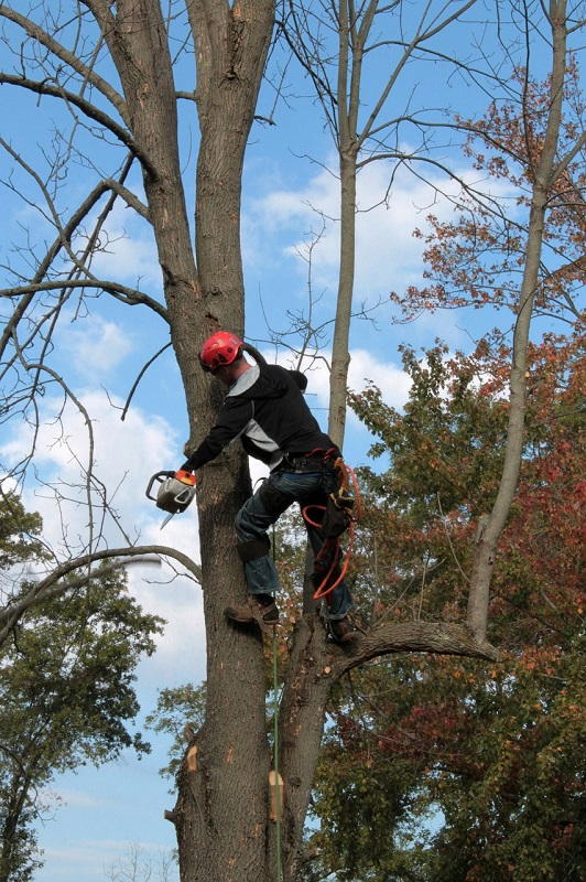 Certified arborist trimming a tree | arborist is isa certified | Stein Tree Service