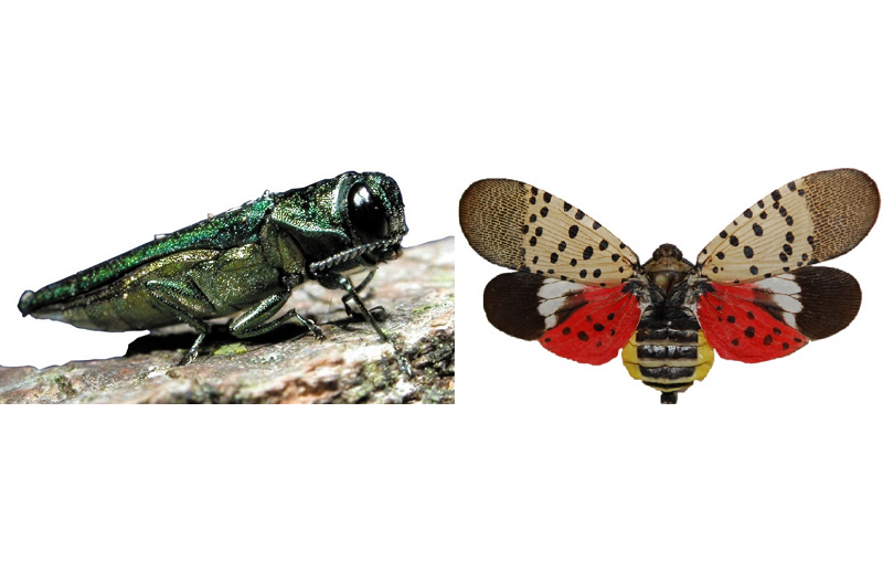 Emerald Ash Borer and Spotted Lanternfly Image