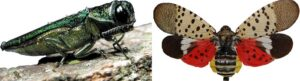 Emerald Ash Borer and Spotted Lanternfly- Stein Tree