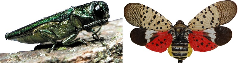 Emerald Ash Borer and Spotted Lanternfly- Stein Tree 800