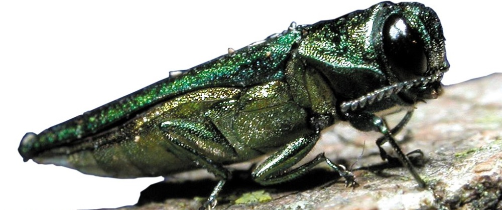 Emerald Ash Borer infestation - Stein Tree Service - 1000