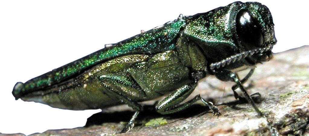 Up-close image of emerald ash borer | eab quarantine | Stein Tree Service