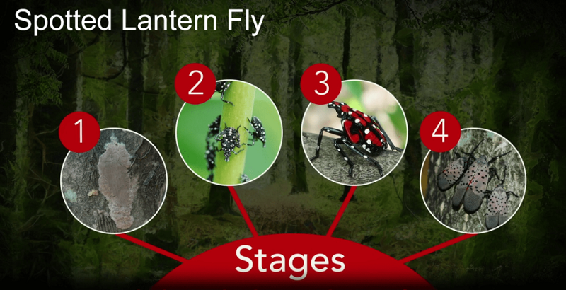 Spotted_LanternFly life cycles - Stein Tree