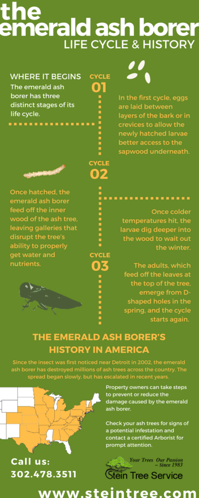Inspect for Emerald Ash Borer Lifecycle and History - Stein Tree Service