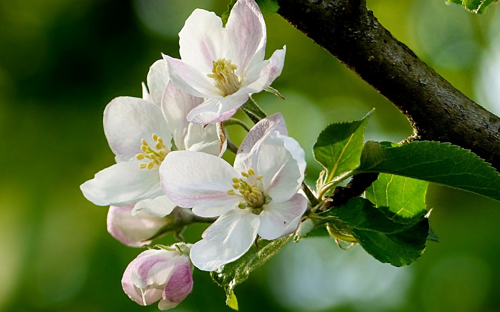 spring tree in bloom - What does an arborist do - Stein Tree Service
