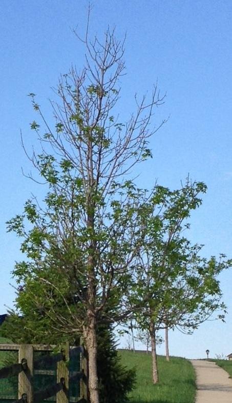 emerald ash borer thinning canopy