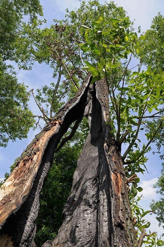 Photo of storm damaged tree | large trees near my house | Stein Tree Service