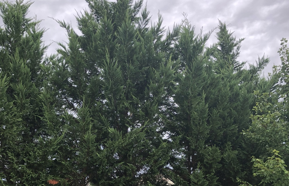 Leyland Cypress - Tree Care - Stein Tree Service