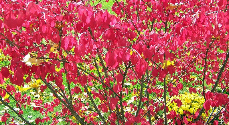 burning bush - invasive species - tree and plant health care - Stein Tree Service