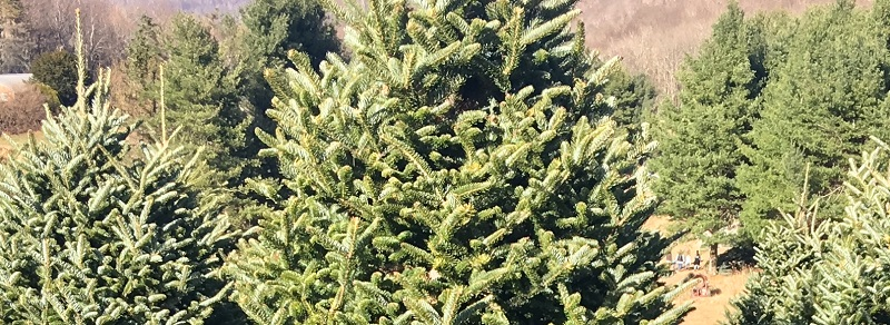 christmas tree farm - tree care - Stein - 1000