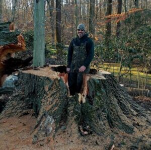 large red oak tree removal tree stump with giant cavity - Stein Tree Service