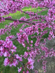 Eastern Redbud Native Trees and Shrubs- Stein Tree Service