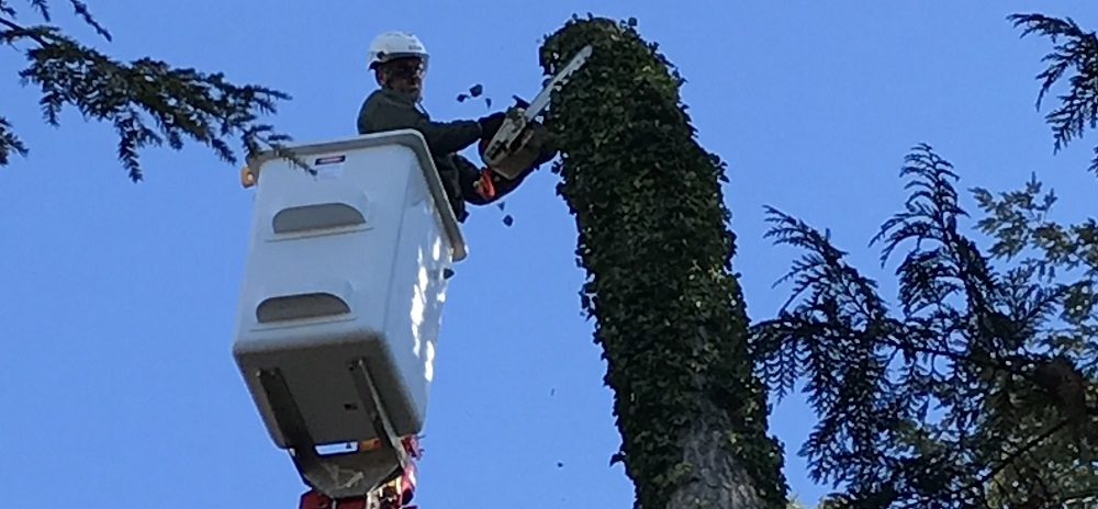 banner tree removal tree trimming and pruning- stein tree service