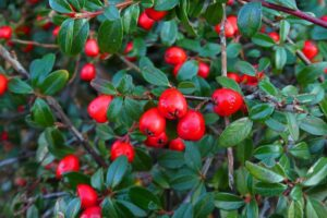 winterberry shrub - native trees and shrubs - Stein Tree