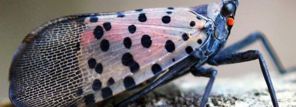 banner - adult spotted-lanternfly-closed-wings-1000