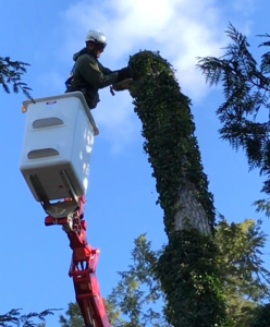 tree removal and tree trimming and pruning is safer and simpler with a spider lift - stein tree service 2019