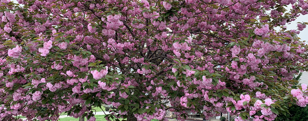 when should i prune a flowering tree cherry blossom tree in bloom - stein tree service