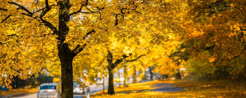 banner tree city - city street lined with yellow trees in Autumn - Stein