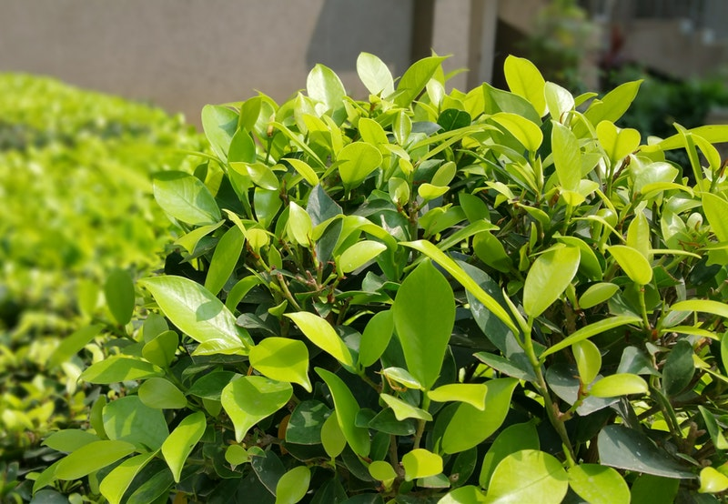 Photo of shrub | Shrub Trimming Tips | Stein Tree Service