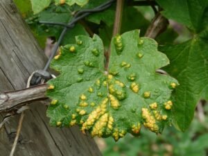 Wine leaf with mite and smallpox infestation – Integrated Pest Management (IPM) – Stein Tree