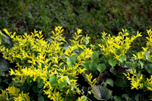 Yellow Green Shrub Care is Part of Plant Health Care Services with Stein Tree Service