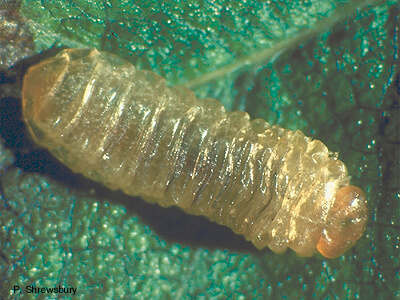 Leafminer Larva | beneficial insect release | Stein Tree Service
