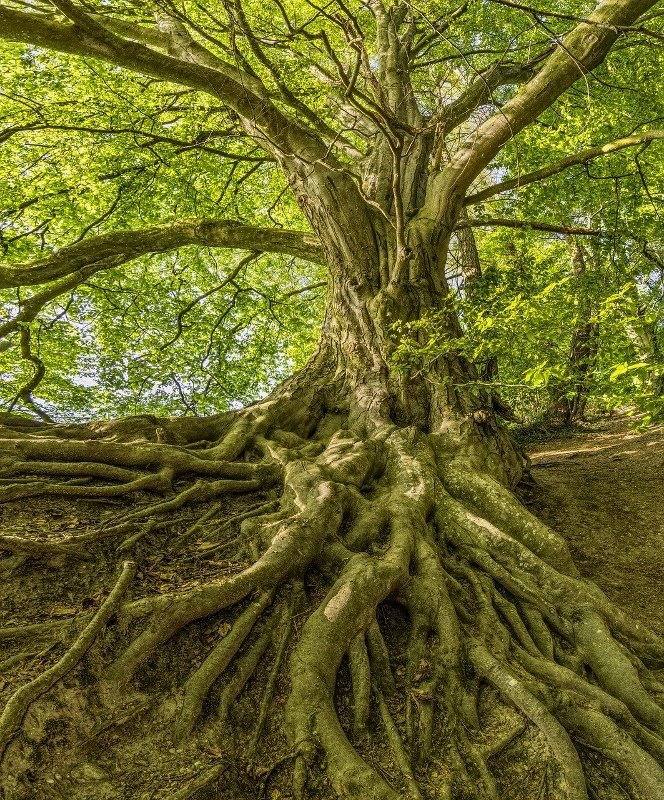 Tree with large roots above ground | Tree Root Health | Stein Tree Service