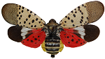 Spotted lanternfly with wings open | invasive species in Delaware | Stein Tree Service