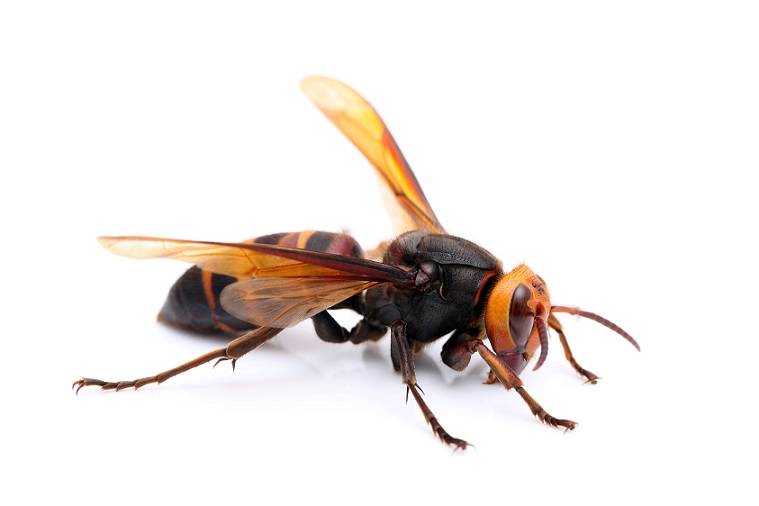 Photo of Asian giant hornet | invasive species in US | Stein Tree Service