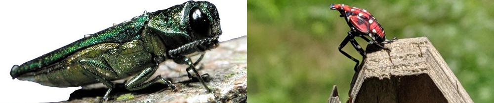 banner-spotted-lanternfly-emerald-ash-borer-stein-tree-service-1000